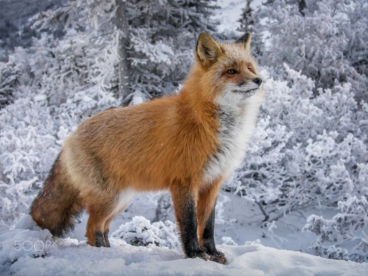 Red Fox by Dean Schmidt on 500px                                                                                                                                                                                 More