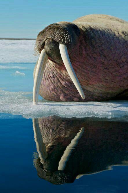 Reflections: Walrus Reflection.
