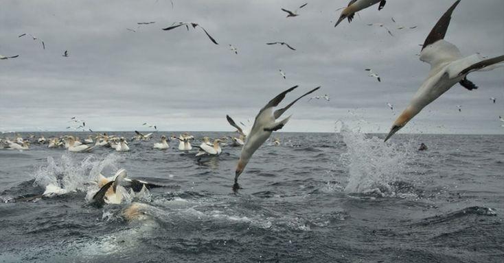Os pássaros marinhos, de cores preta e branca, têm técnicas de pesca espetaculares. Fortes e ágeis, eles mergulham no mar a partir de alturas consideráveis e em alta velocidade em busca de peixes.  Fotografia: Richard Shucksmith/Barcroft.