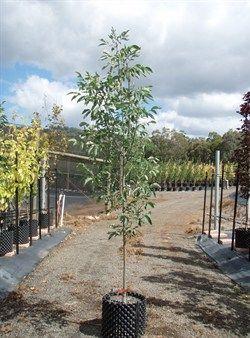 Fraxinus pennsylvanica Cimmaron | Olinda Nurseries | Wholesale tree nursery Victoria | Macedon Ranges