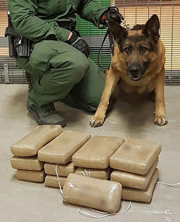 How Do They Train Drug Sniffing Dogs Basic Dog Training Dog