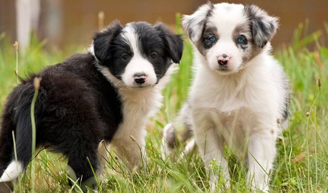 Everything you want to know about Border Collies including grooming, training, health problems, history, adoption, finding good breeder and more.