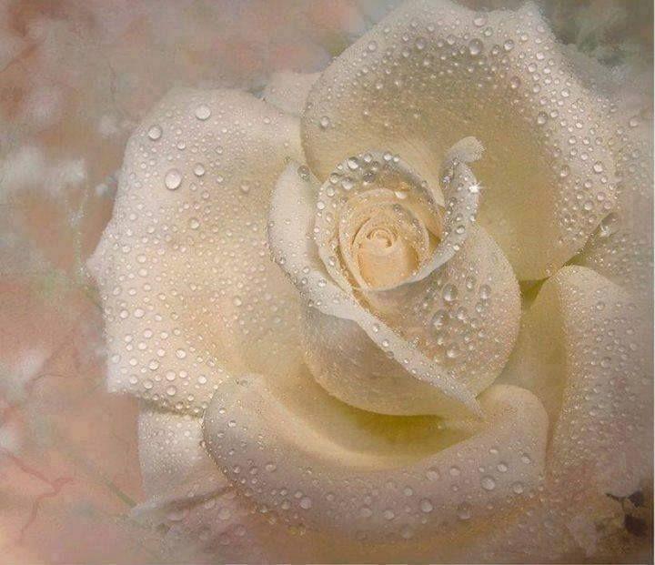 Biela ruža.