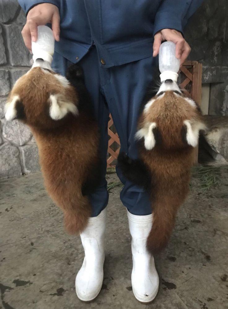 <3 <3 Omg baby Red Pandas