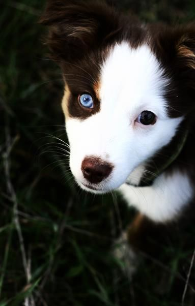 Breed: Miniature American Shepherd pup, ball of adorableness.