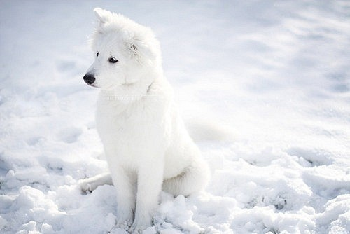 WHITE Samoyed.
