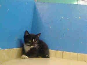 ELMO is an adoptable Domestic Short Hair Cat in New York, NY.  ...Short Hair, Shorts Hair, Hair Cat, Domestic Shorts