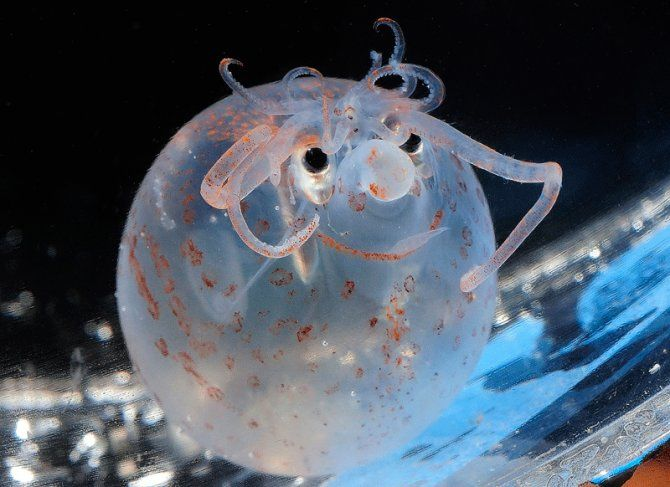 Meet the Piglet squid. This squid has always got a smile on its face! The skin pigmentation of this little deep water squid gives it a huge grin, while the tentacles seem to form a mass of curly 'hair', combining to give it an almost cartoon appearance.