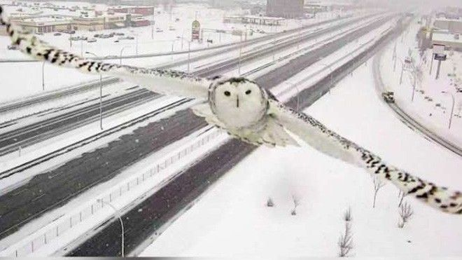 A snowy owl's brief encounter with a Montreal highway camera turned into a social media sensation the other day.