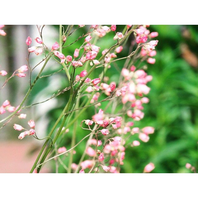 #green#plants #pink#flowers #nature#beautiful #nice#spring #springtime #photoshoot #home #garden #love#may#weekend#instagood@instanature_789