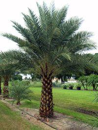 True Date Palm Tree   Phoenix dactylifera