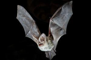 Sobrevivência do morcego-orelhudo-cinzento ameaçada por mudanças climáticas.  Mais info: http://noticias.up.pt/mudancas-climaticas-ameacam-morcegos-europeus/; https://www.facebook.com/CCVdoAlviela