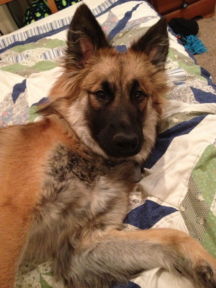 german shepherd chow mix german shepherd chow chow mix dogs love you more than 2310