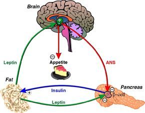 Reverse Leptin Resistance with Diet and Exercise: Why Can't I Lose Weight?