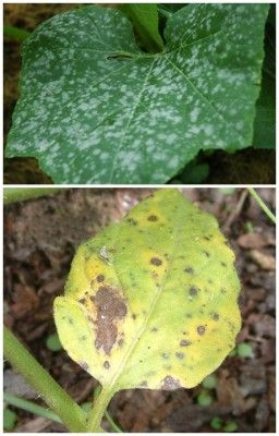 Learn how to kill tomato blight and powdery mildew with baking soda and save your garden. Once you begin to see tomato blight and or powdery mil