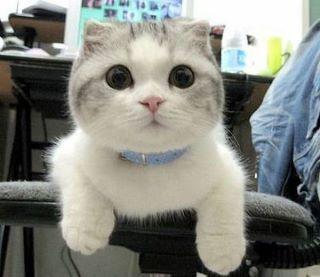 "Scottish fold munchkins.  * * "" De cat iz de only animal dat kin say: 'de hell wif you; I iz a cat', and gets away wif it."""
