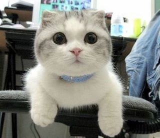 Scottish fold munchkins. Nothing is really cuter than that!