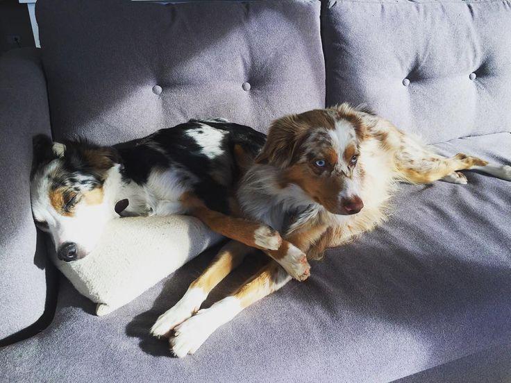 Little cuddle pups  #bestfriends #miniaussie #miniaussiesofinstagram #miniaustralianshepherd #puppiesofinstagram #poochpal #pupstastic #pupstagram #lacyandpaws #aussie_world #aussienation #australianshepherd #redmerle #bluemerle #cute #dogsofco #dogsofinstagram #woof #love by addie.and.cooper