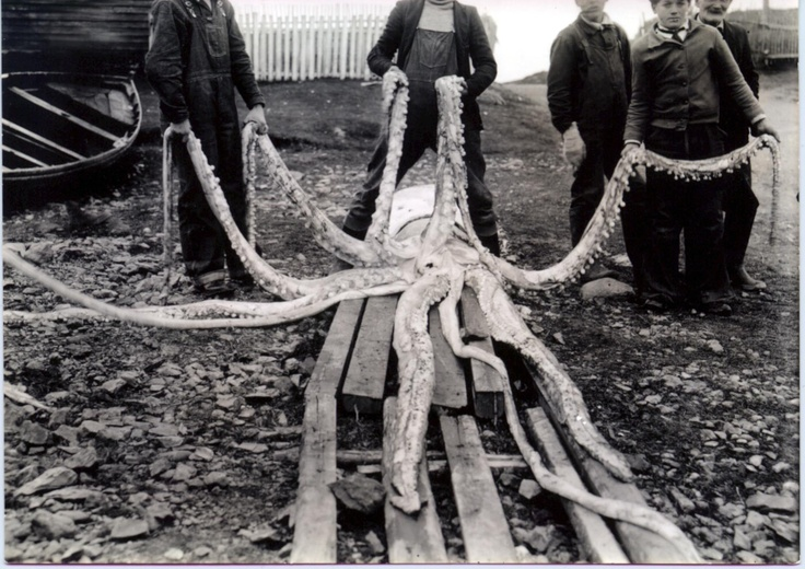 Picture I cleared from Newfoundland Oceans and Fisheries. Squid found in the early 1900's.