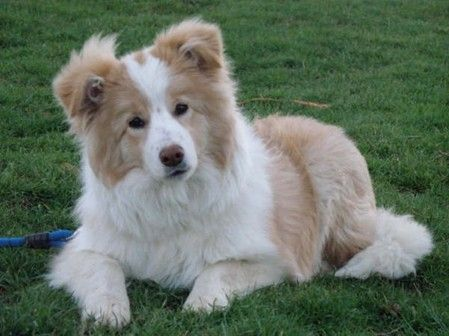 Nahia por Bleu Perle Border Collie one of two possible additons