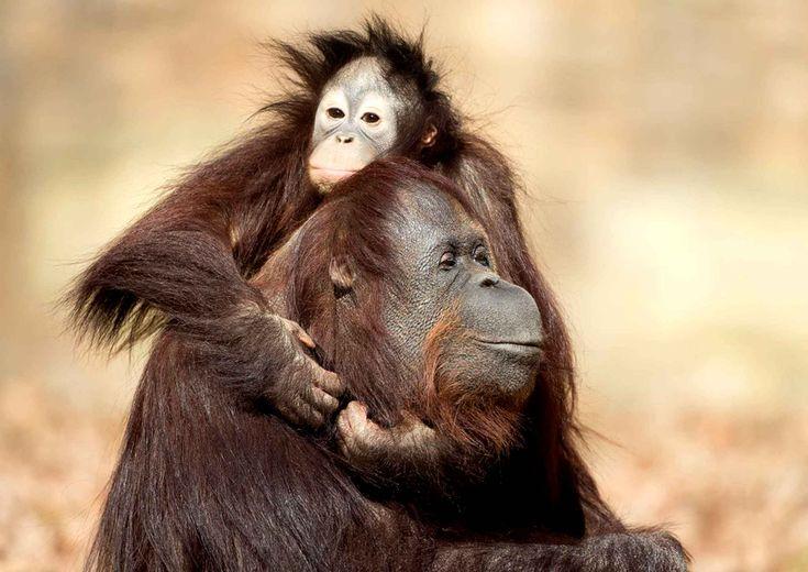 Bébé orang-outan de 2 ans, Cheria, s'accroche  tendrement à sa mère adoptive Julie, le 24 mars.