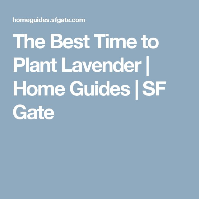 The Best Time to Plant Lavender   Home Guides   SF Gate