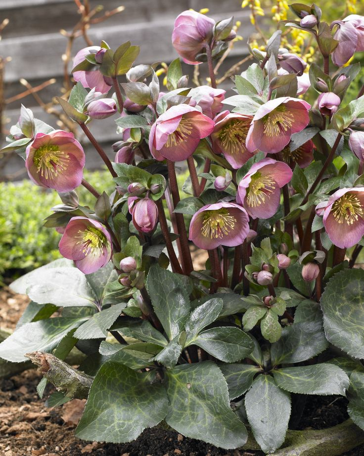 Helleborus x hybridus, FrostKiss™ Penny's Pink®