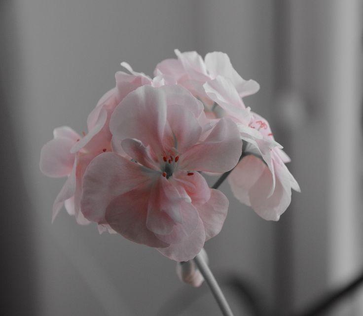 Geranium - Pelargon Mårbacka