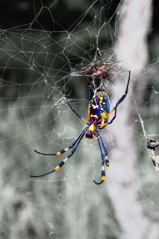 Large female spider