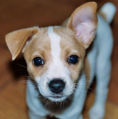 rat terrier puppy - I love how his ears haven't decided which way they want to go yet