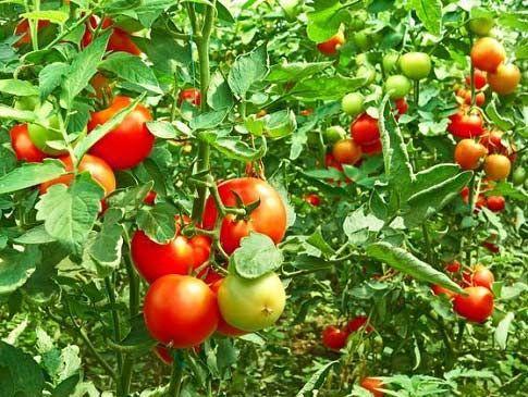Борная кислота для помидоров - опрыскивание для завязи и против вредителей
