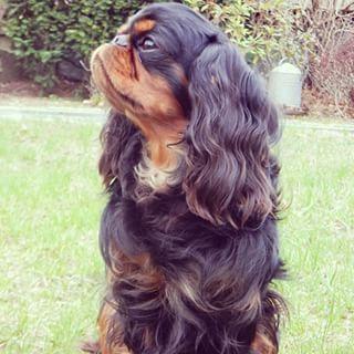 English Toy Spaniel Dog Breed Information - American Kennel Club