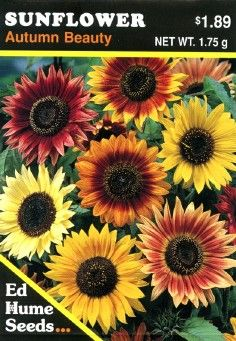 """'Autumn Beauty' Sunflower """"Did you ever notice this? While young sunflower seedlings will move to face their light source, mature sunflowers remain in place, always facing the morning sun."""" The Empress of Dirt."""