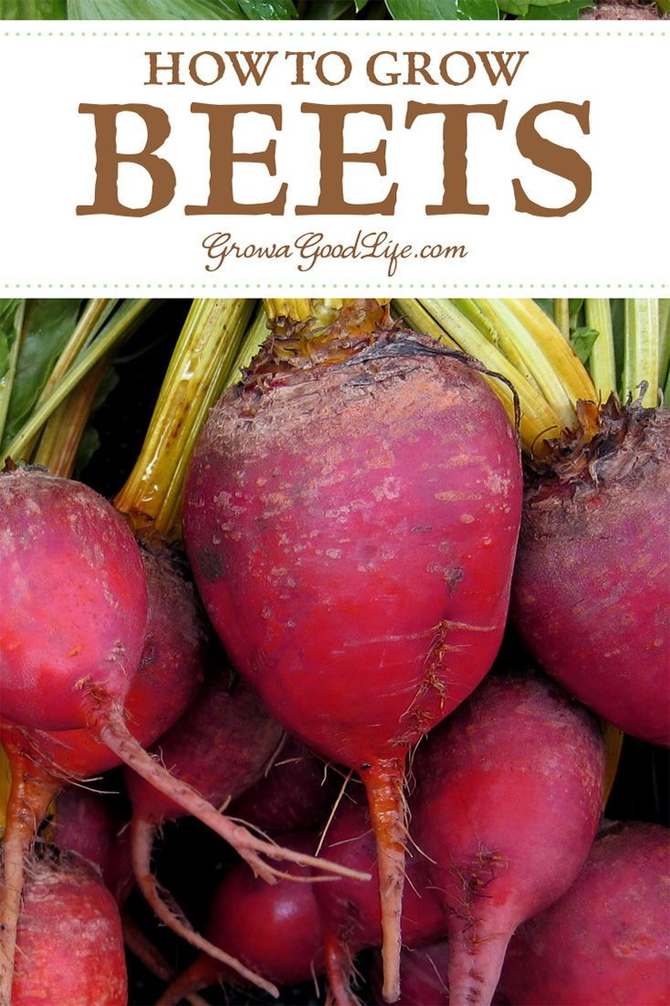 How To Grow Beets From Seed To Harvest Growing Beets Growing Vegetables Beets