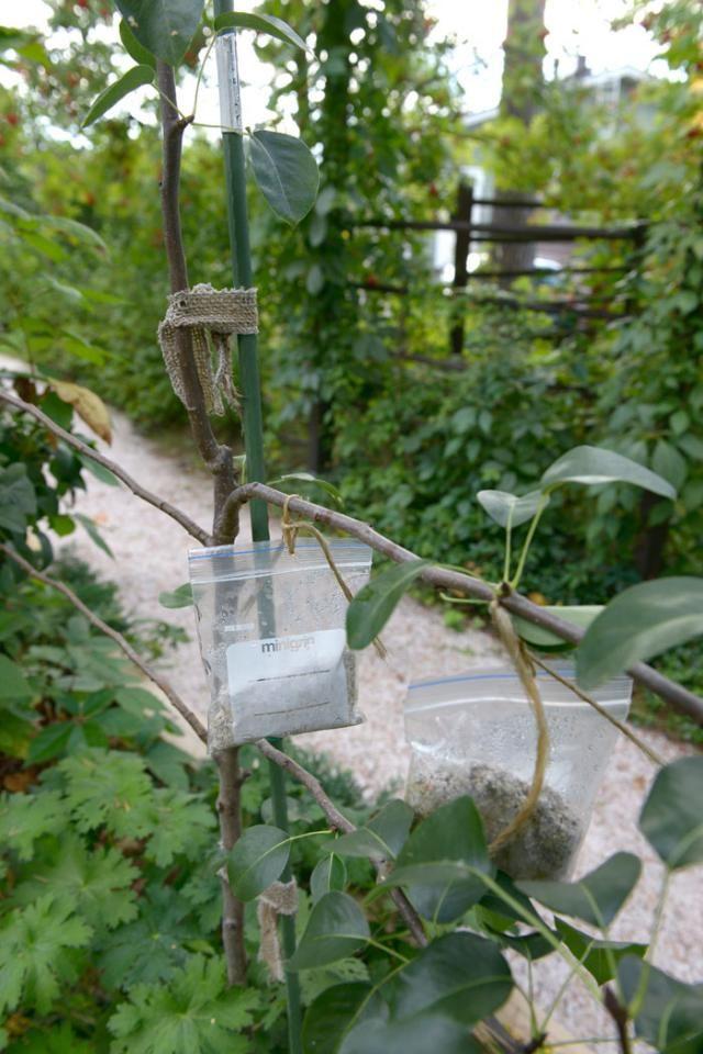 Nuoria hedelmäpuun oksia voi taivuttaa varovasti, jotta oksakulmista tulee avoimia ja satoisuus paranee. Helpot painot syntyvät pikkupusseista ja hiekasta. Text Anna Aho, photo Ritva Tuomi viherpiha.fi
