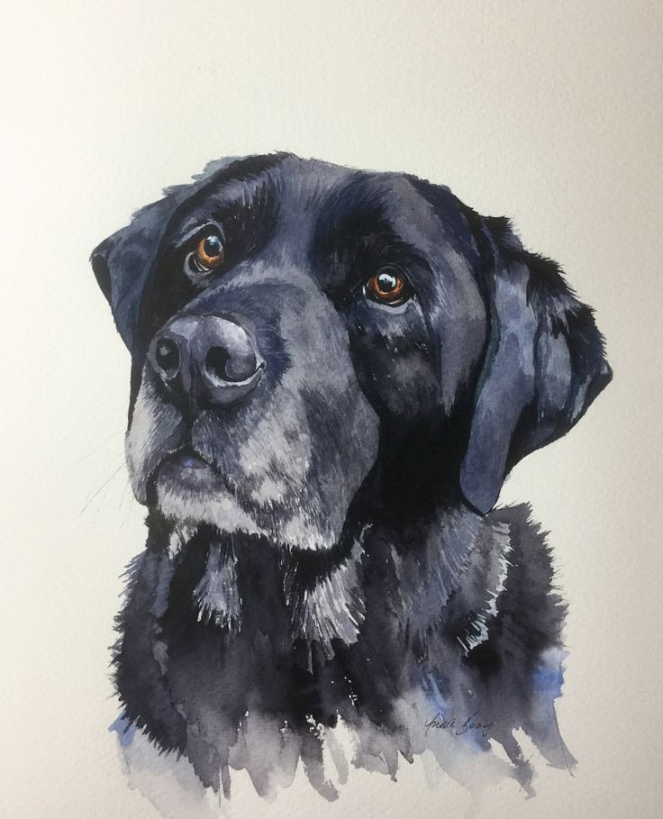 Biggles, an 11 year old, black american labrador, now living in Salisbury.Portrait in watercolour and ink . To see more and for commissions and enquiries please visit www.gingerhareart.co.uk