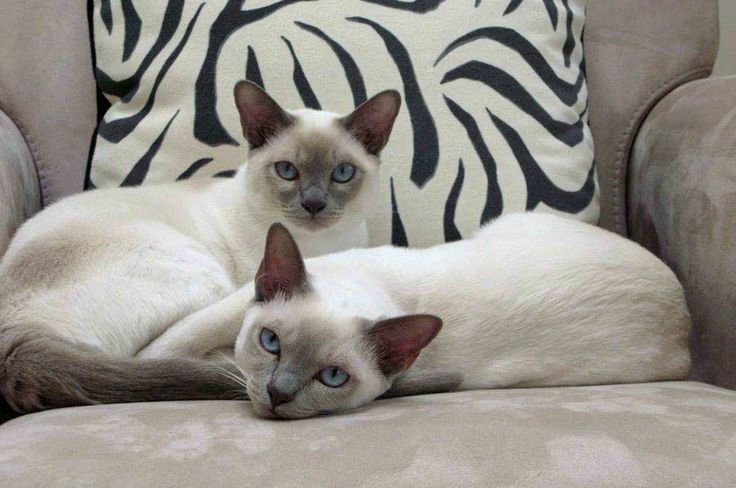 The most beautiful Platinum Point Tonkinese cats I've ever seen!