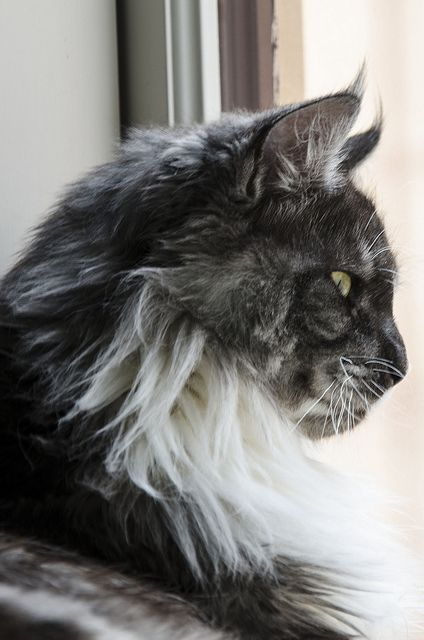 Ander as a Maine Coon? What would he be staring at??? Could it be Jared? He's planning his next attack??? O.o @BlazingBlueSkye