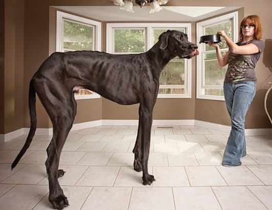 World's Tallest Dog.  Denise Doorlag stands with Zeus, her Great Dane, at her home in Otsego, Mich., in this Nov. 3, 2011 photo. Zeus is now officially the world's tallest canine according to the Guinness World Record 2013 book. The 3-year-old measures 44 inches from foot to shoulder. Standing on his hind legs, Zeus measures 7-foot-4. (Kevin Scott Ramos/Guinness World Records 2013 Edition)