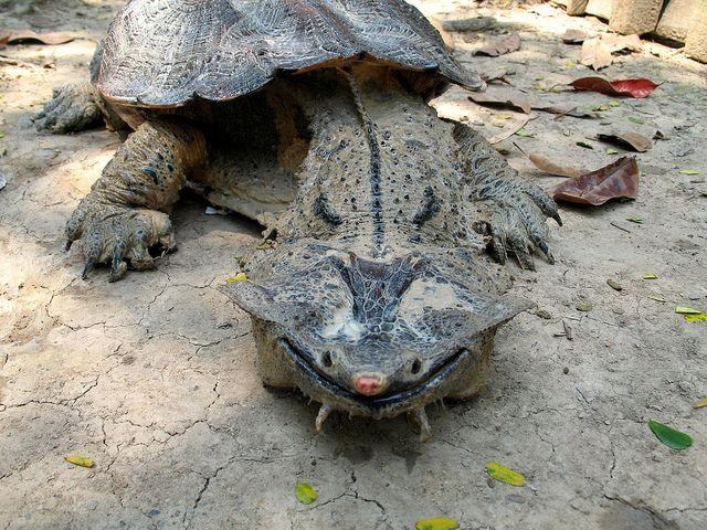 MATA MATA TURTLE - a freshwater turtle found in South America, primarily in the Amazon and Orinoco basins.