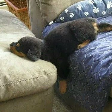 He sometimes being lazy but he is too adorable . #collarbuddies #rottweiler #rottweikers #rottweilersofinstagram #rottweilerclub #rottweilerfans #rottweilerlove #rottweilerpuppy #rottweilerofinstagram #instarottweiler #rottie #rott #dogsofinstagram #rottweilerdog #rottstagram #rottweilerlovers #rottweilasinc #rottweilerbreed #ilovemydog #rottweilersofinstagram by rottweilerlover