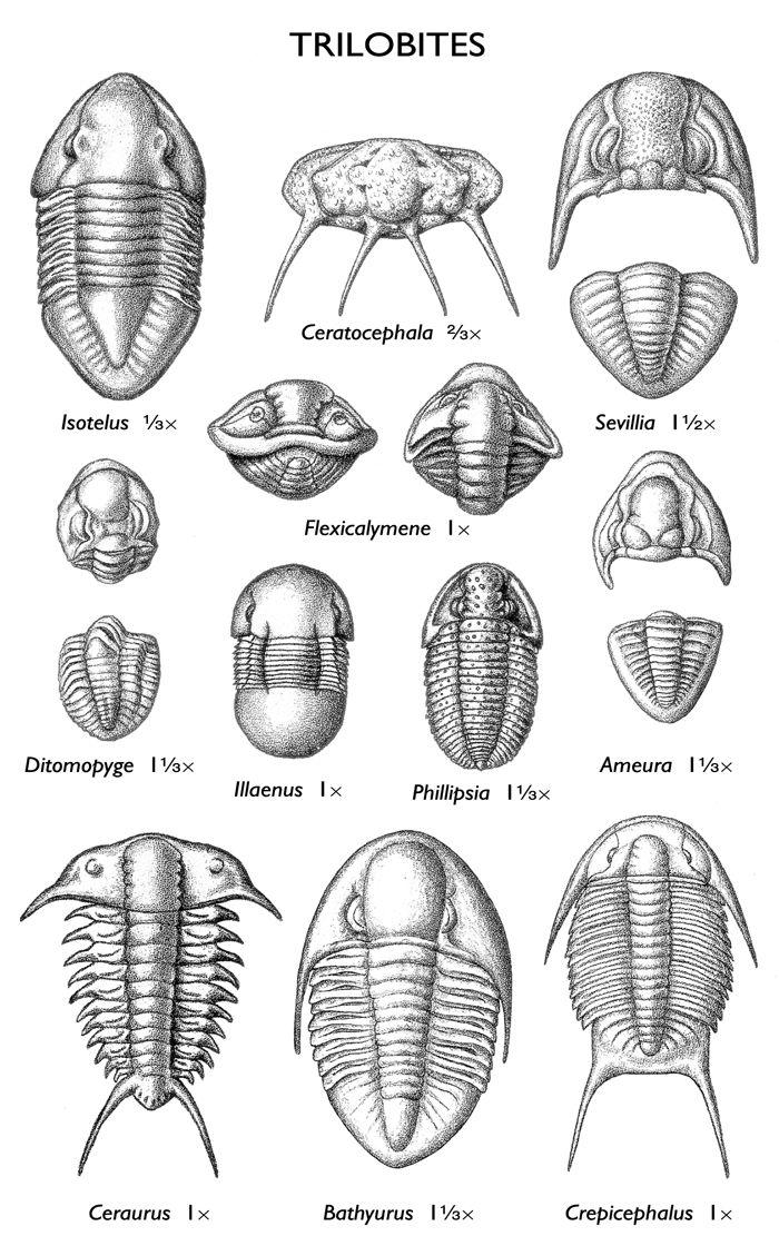 images of trilobite fo...