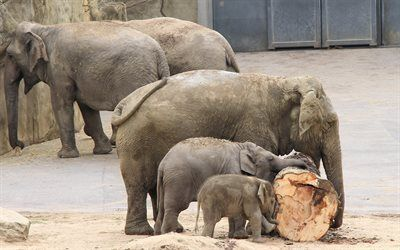 Scarica sfondi famiglia di elefanti, piccolo elefante, zoo, gli elefanti