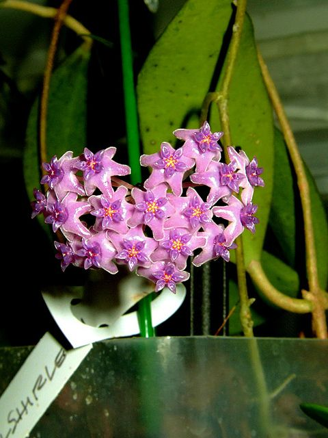 Hoya paulshirleyi | Flickr - Photo Sharing!