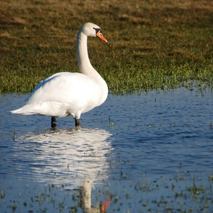 Stanicas swan :-)