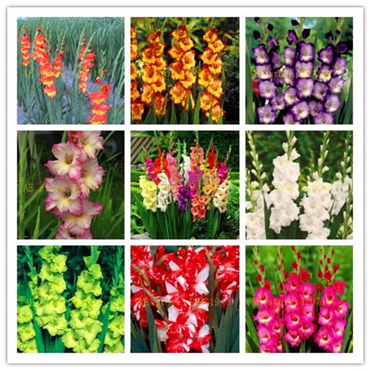 100/bag Perennial Gladiolus Flower Seeds, Rare Sword Lily Seeds for DIY HOME garden planting Aerobic potted plants  decoration *** You can get more details by clicking on the image.
