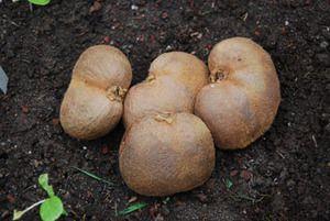 Trade Winds Fruit - Actinidia deliciosa - Double Kiwi, $2.00 (http://www.tradewindsfruit.com/actinidia-deliciosa-double-kiwi-seeds)