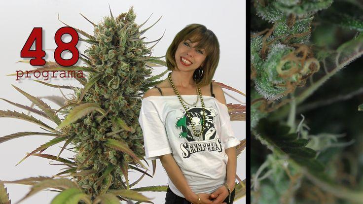Marihuana Television News #48 #ElCannabisSeQueda