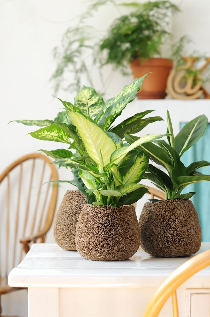 Dieffenbachia houseplants in creative pots #plants