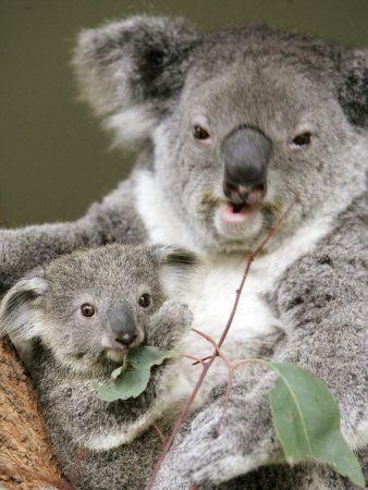 Google-Ergebnis für http://cache2.allpostersimages.com/p/LRG/27/2749/KL1TD00Z/poster/an-8-month-old-koala-joey.jpg